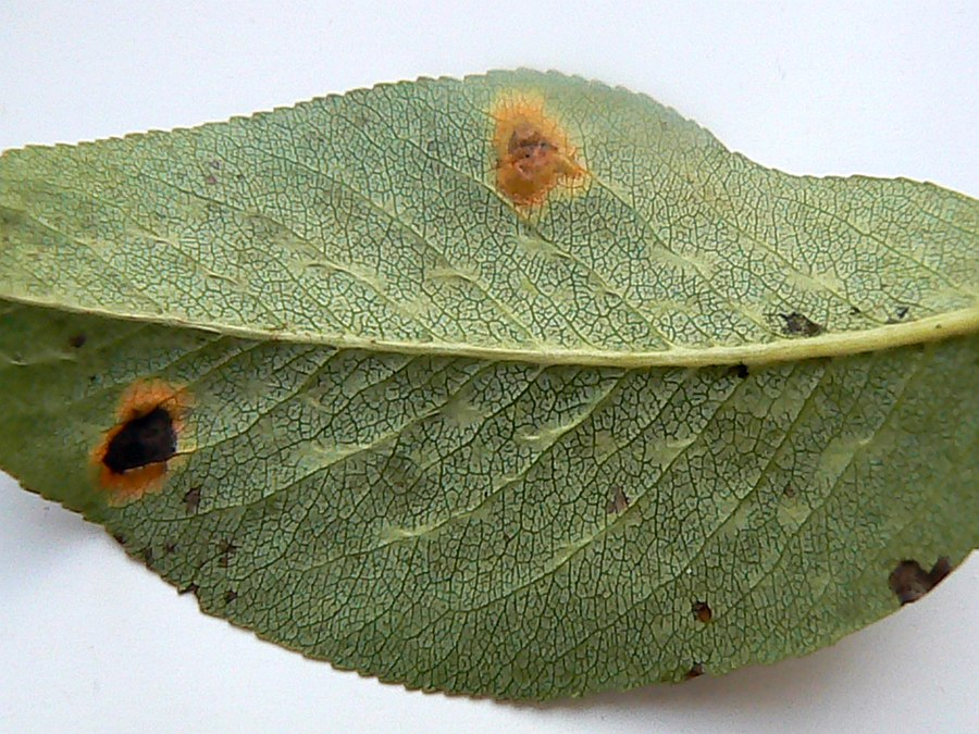 Rdza gruszy (fot. W. Kaczorek)