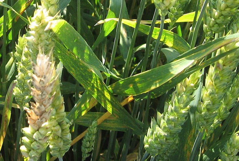 Fuzarioza zbóż