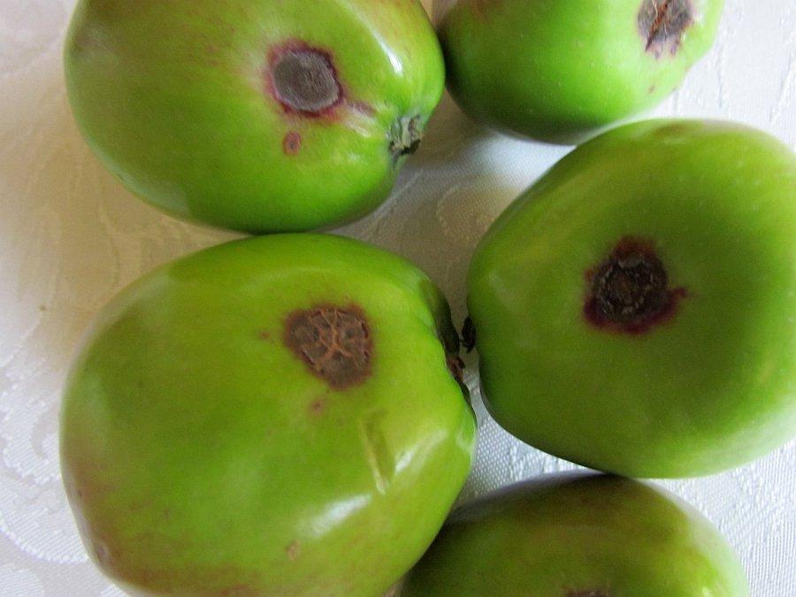 Objawy porażenia owoców [fot. M. Surowec / arch. ŚODR]